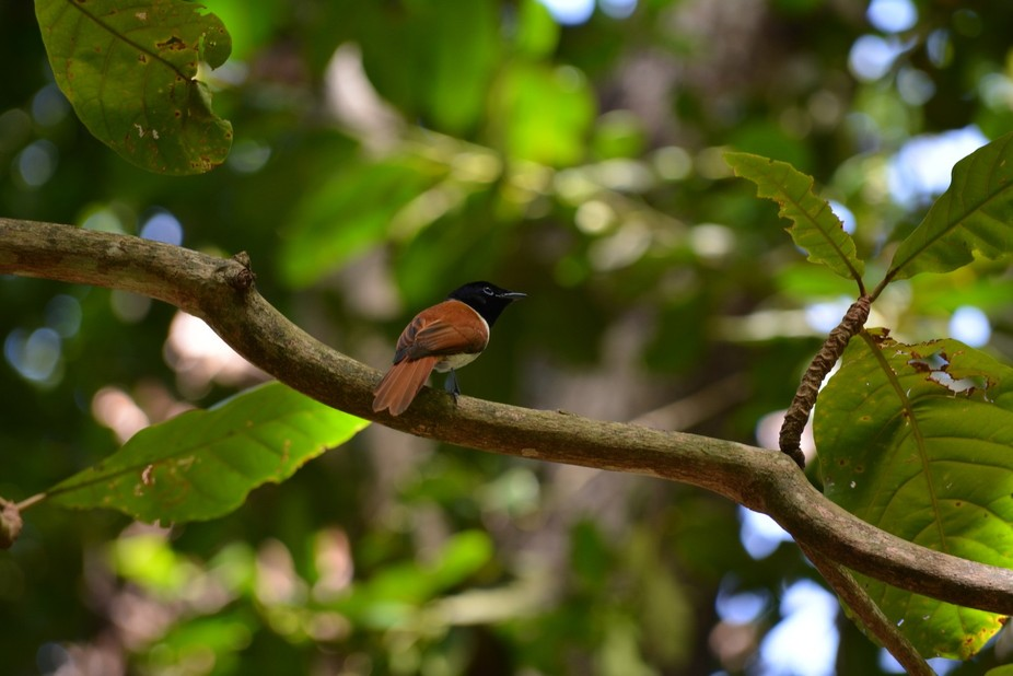 I took this picture inside the Vueve Bird Reserve in La Digue, Seychelles. The Paradise Flycatche...