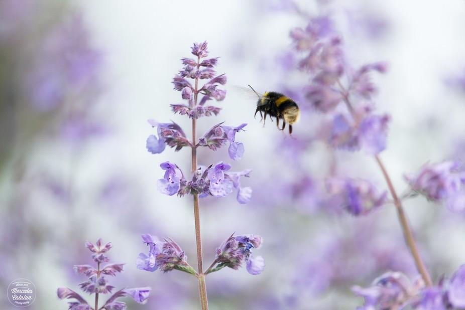 Bumblebee at Phoenix Park, Dublin