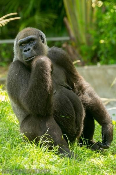 Frederica the Gorilla.