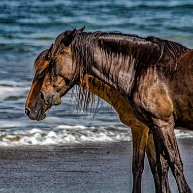 The wild horses of Corolla, North Carolina are direct descendants of the Spanish horses that were introduced to the Outer Banks nearly 500 years ago.