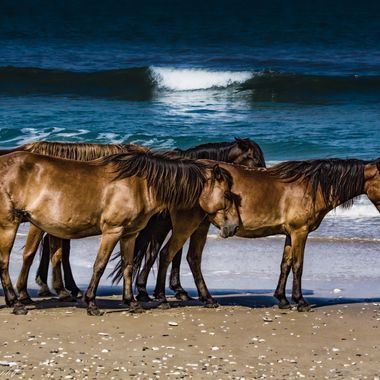 The wild horses of Corolla, North Carolina (known as Bankers) are direct descendants of the Spanish horses that were introduced to the Outer Banks nearly 500 years ago.