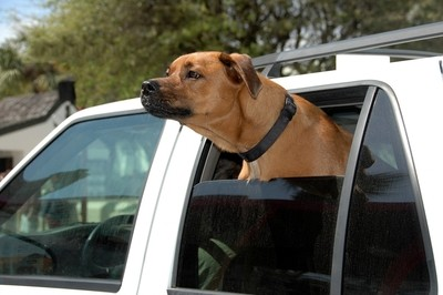 Dog  looking out from car window