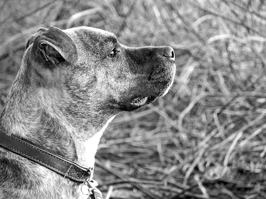 Profile shot of my dog Ozzy standing guard on a sunset shoot.