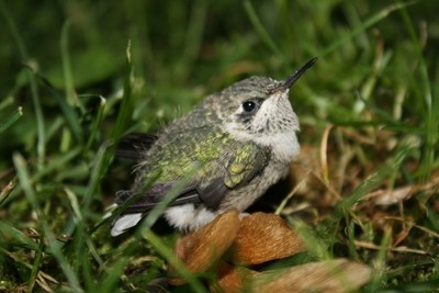 Baby Hummingbird on a bed of Maple keys