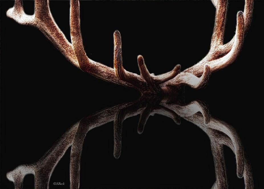 Elk antlers....