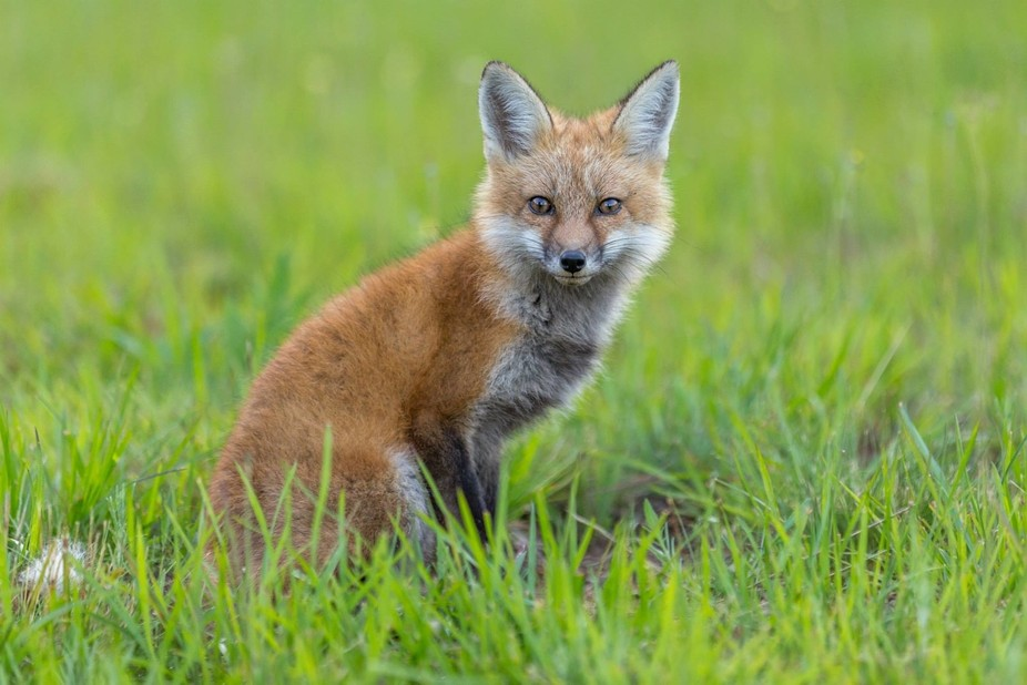 A mother Red Fox, watching me closely as I creep closer and closer to her three kits.