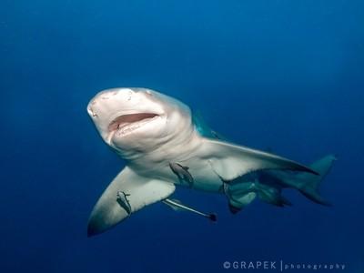 Lemon Shark and Remoras