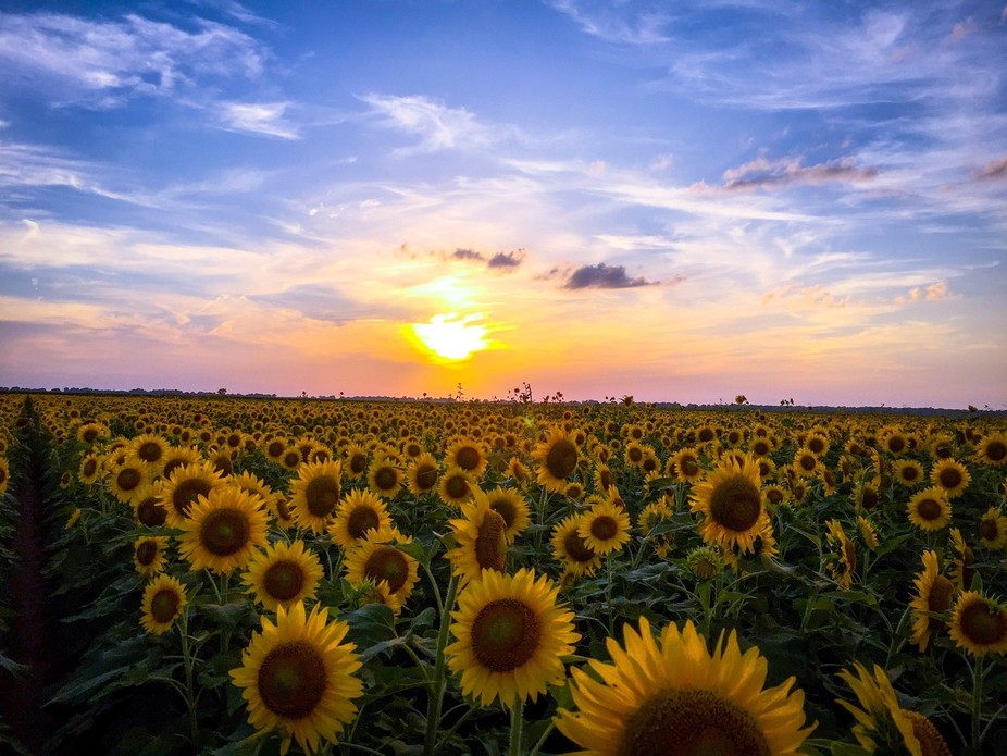 Sunset behind the sunflowers