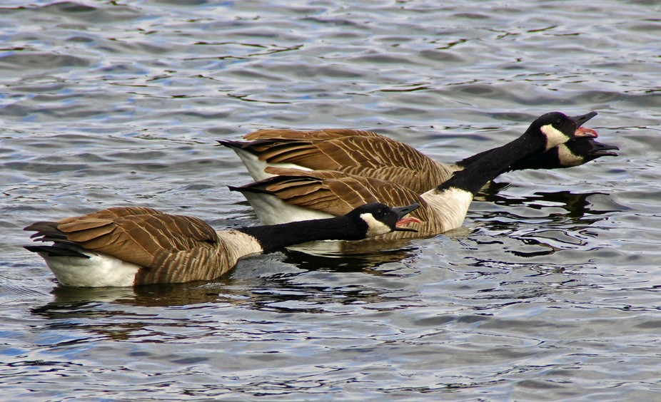 Even for geese, this was odd! Fun to watch though as these three swam with beaks open, tongues out and necks fully extended.