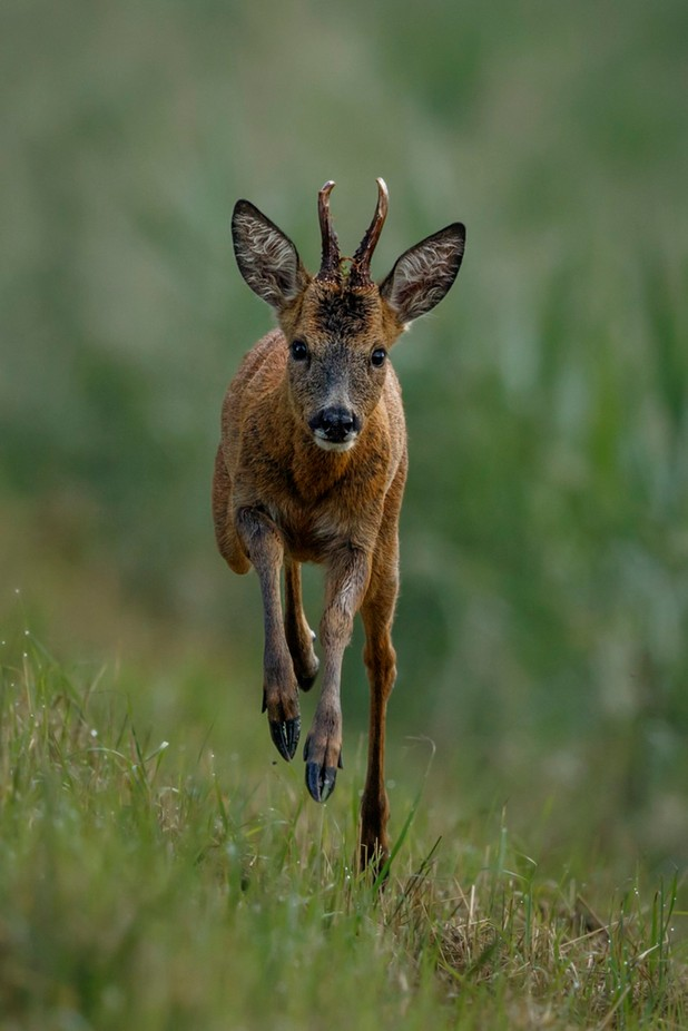 Roe Deer 16-6 by kevinpigney - Life And Freedom Photo Contest