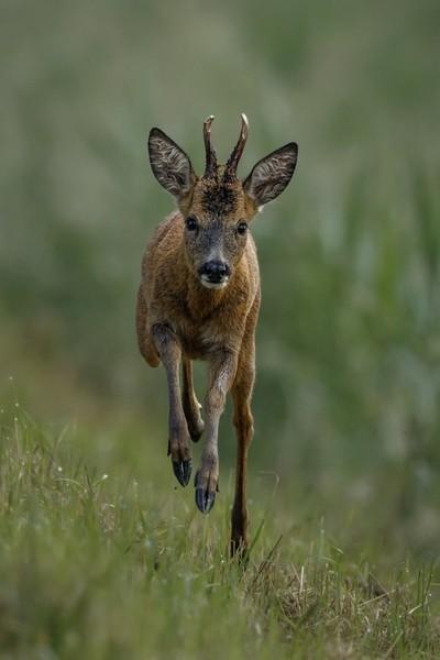 Roe Deer 16-6