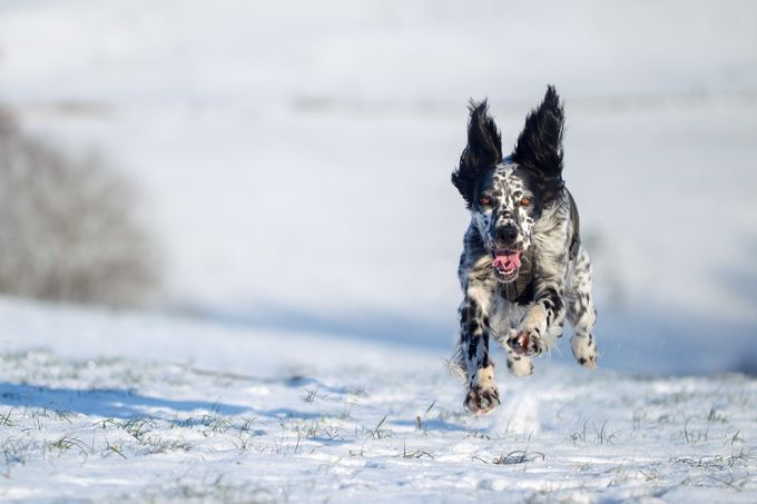 Odi on a wonderful winter day by erikthomas - Dogs or Cats Photo Contest