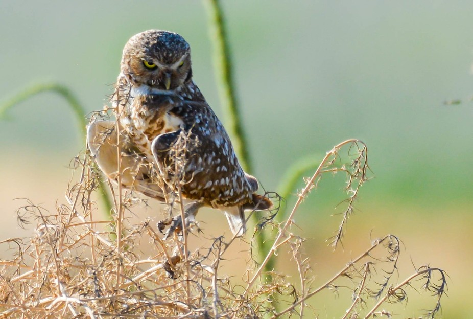 Burrowing Owl keeping watch over it's young.
