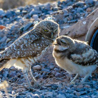 Young Burrowing Owl telling it's parent a secret.