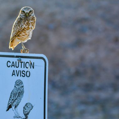 Love this shot of a Burrowing Owl sitting on a Caution Burrowing Owl sign.