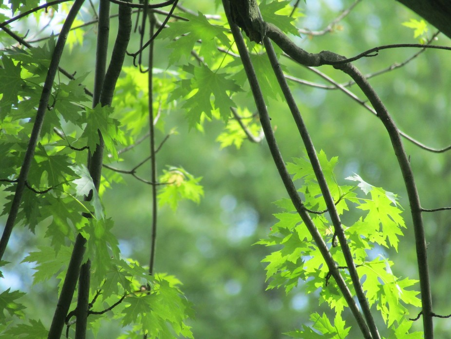 this is a photo of green maple leaves in late spring