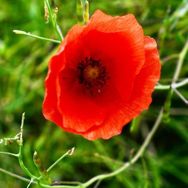 Poppy in Remembrance.