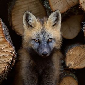 Cross fox kit sits by logs.