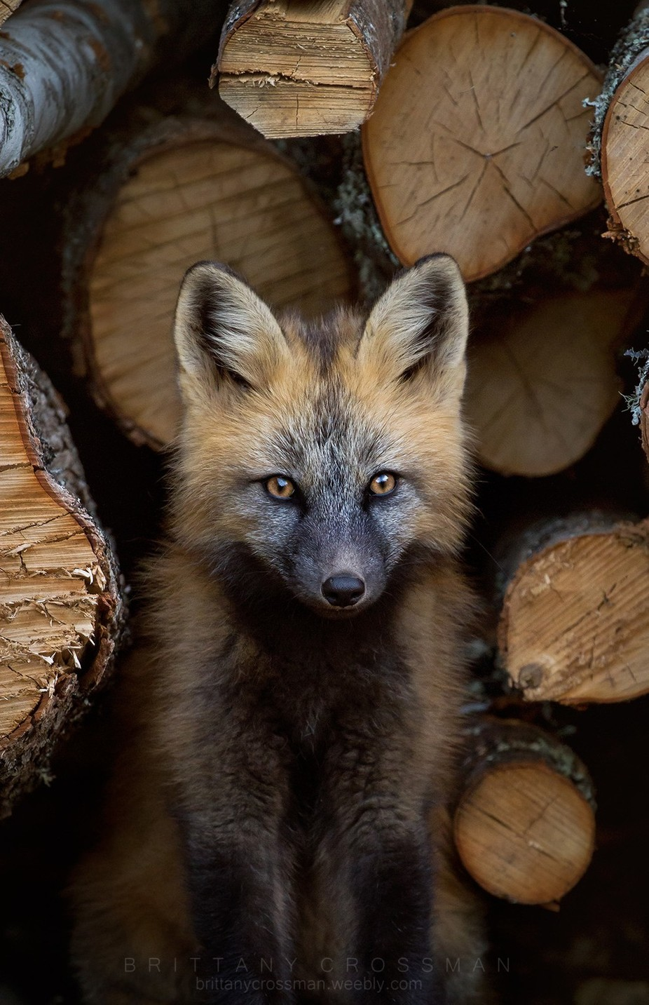 Cross Fox Kit by bkcrossman - Monthly Pro Vol 27 Photo Contest