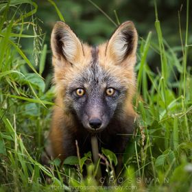 Curious cross fox kit. The cross fox is a red fox, however, it is a partially melanistic color variant, giving it black markings/color mixed with...