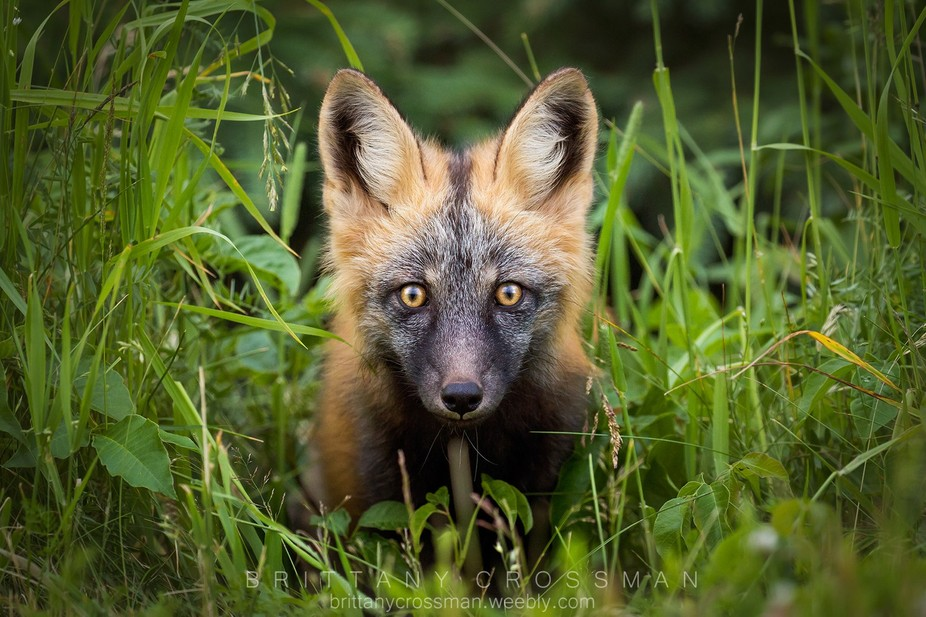 Curious cross fox kit. The cross fox is a red fox, however, it is a partially melanistic color va...