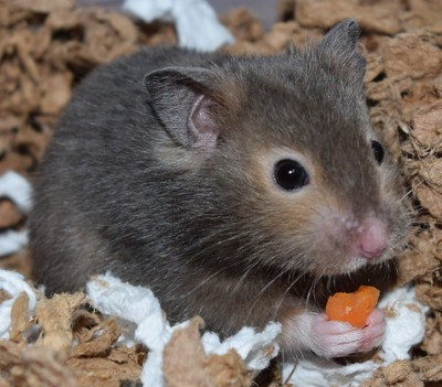 Our Hamster Alena with her heart carrot