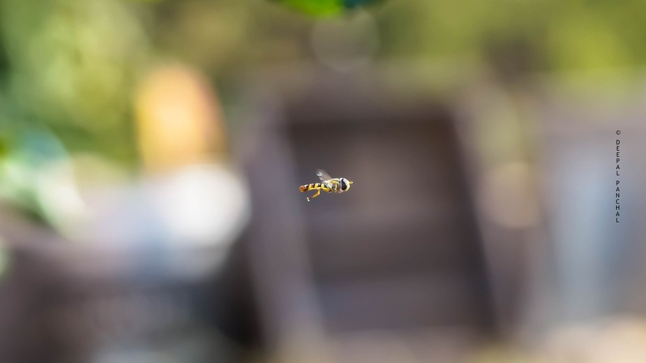 Caught this Insect flying around plants in back yard but due to rapid and random flying pattern  ...