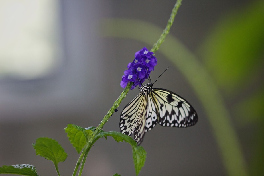 Recently went to the butterfly conservatory in Cambridge and captured this beauty.