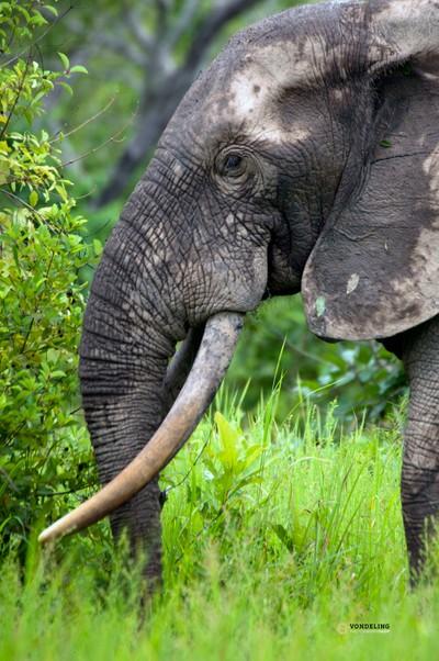 African Elephant Bull, western subspecies, Mole, Ghana