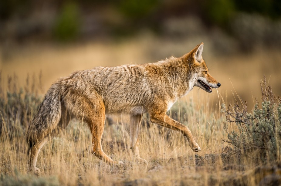 Coyote, photographed in Yellowstone National Park.