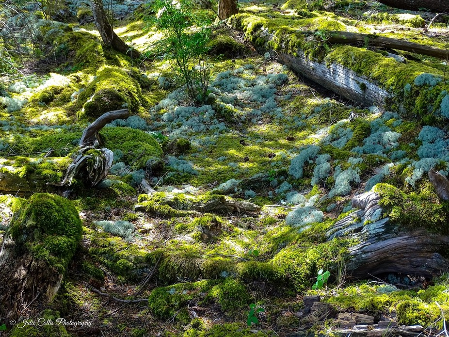 Soft green colours of the different mosses on the forest floor among the fallen logs.  Salmon Poi...