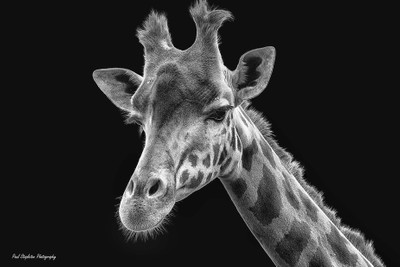 Giraffe on Black in B&W