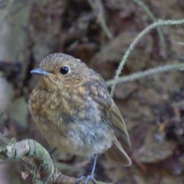 A wee juvinile Robin