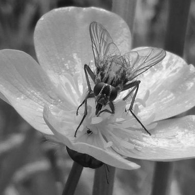 The common Fly on a Buttercup, complete with Bug below