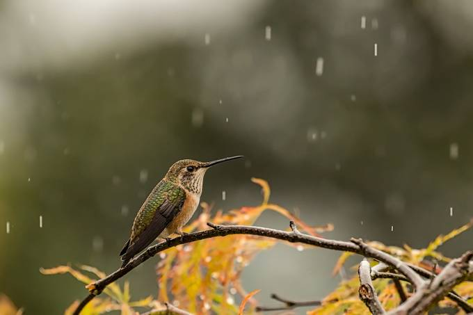Rain, rain, go away... by Hogzilla357 - Just Hummingbirds Photo Contest