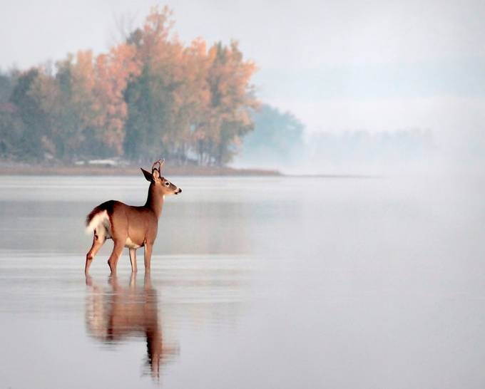 Young Buck by dpinard - Rule Of Thirds Photo Contest v3