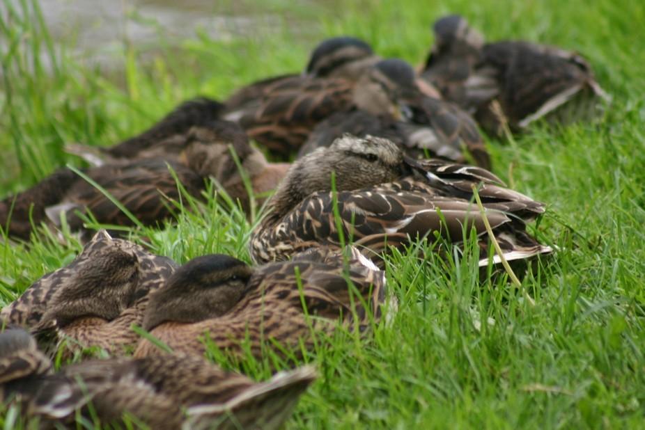 ducks (1)