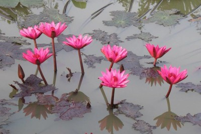 Pink water lilies in farm pond