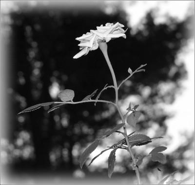 Miniature Rose in B/W