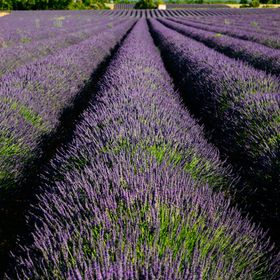 a day in lavander fields