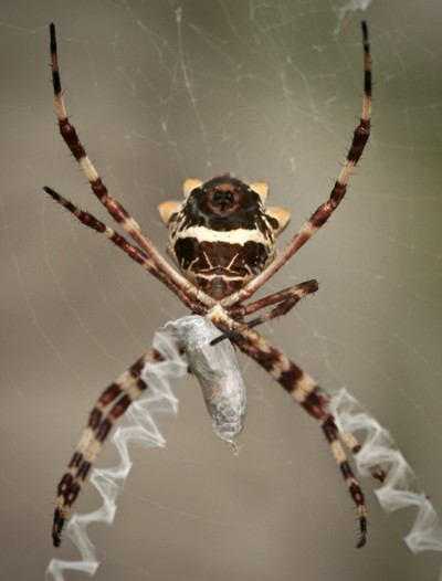 Spider wrapping up its prey.