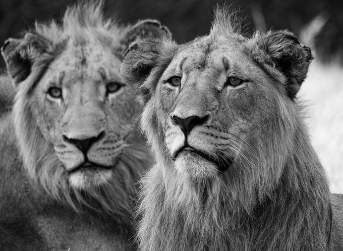 Two of a kind by linettesimoesphotography - Animals In Black And White Photo Contest