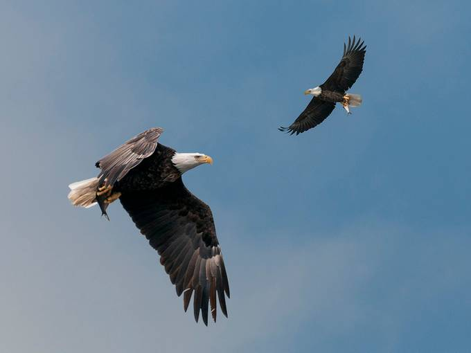 Eagles by mjkirkland - Just Eagles Photo Contest