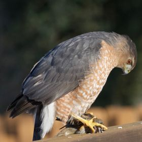 This is the sharp eye of the sharp-shinned hawk following nailing its prey, right next to our backyard deck. Agghh!