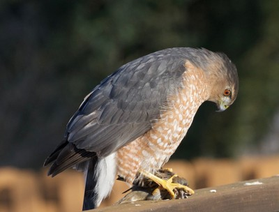 Sharp-shinned hawk eyeing its freshly caught prey
