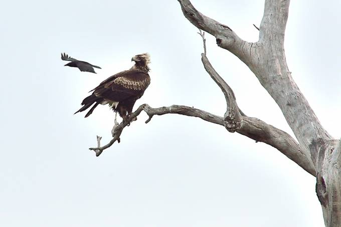 The Tasmanian wedge-tailed eagle is an endangered bird of Tasmania.
