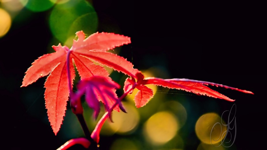 An acer leaf with a bokeh background.