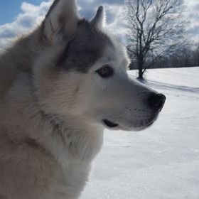 Alaskan Malamute in a majestic blanket of snow.