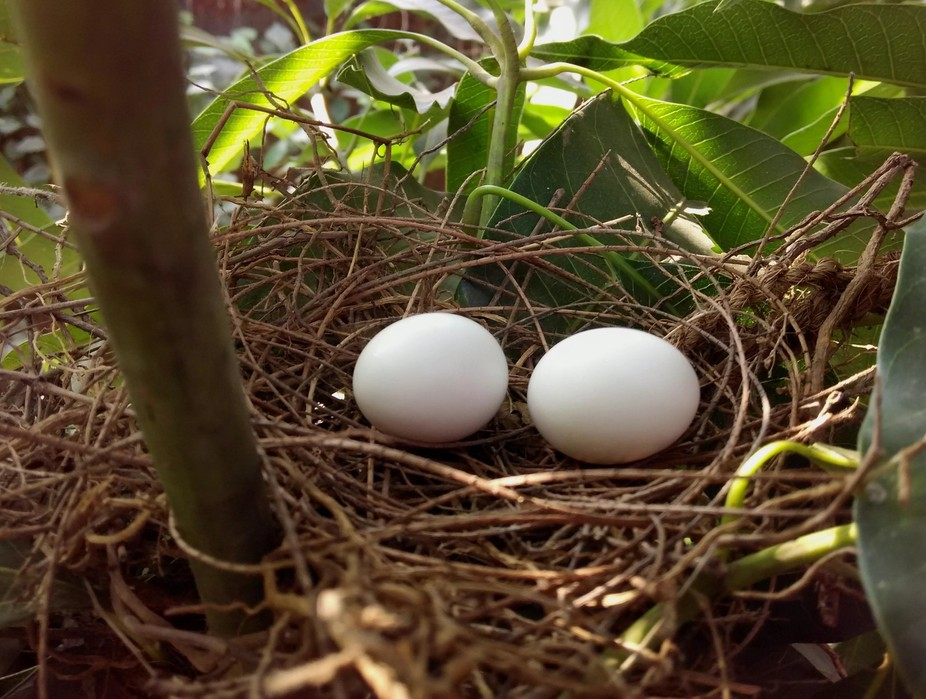 A couple of eggs laid in nest in my garden.