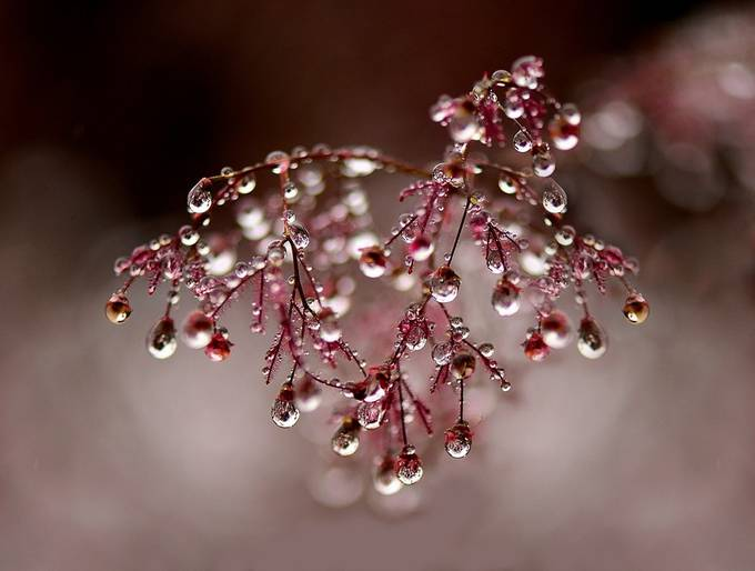 raindrops on smokebush by susel - Macro Water Drops Photo Contest